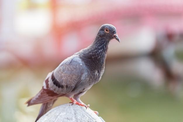Un piccione sulla strada della città nella soleggiata giornata primaverile. dof molto superficiale.