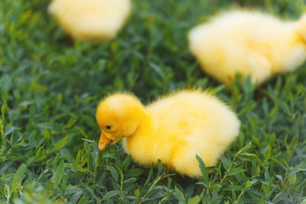 Un piccolo anatroccolo giallo carino sull'erba verde
