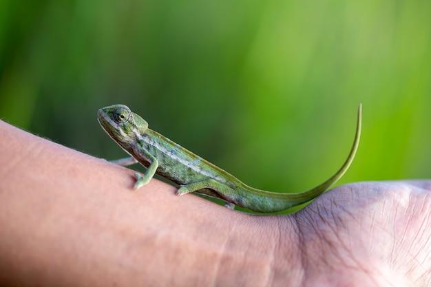 Un piccolo camaleonte nella foresta pluviale dell'isola del madagascar