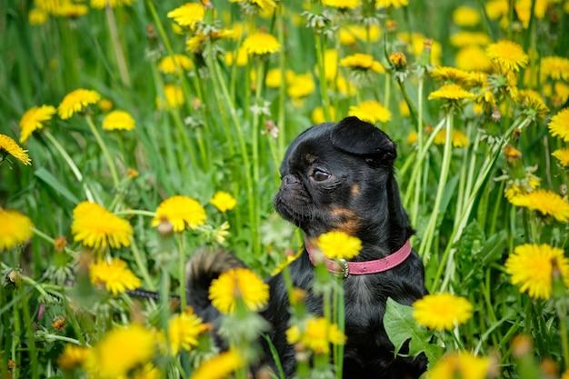 Un piccolo cane nero si siede sull'erba verde con denti di leone gialli