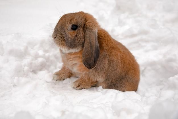 Un piccolo coniglio decorativo di razza ram è seduto e scava una buca. un simpatico coniglio sulla neve bianca invernale.
