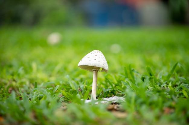 Un piccolo fungo bianco cresce sul terreno tra l'erba verde del giardino