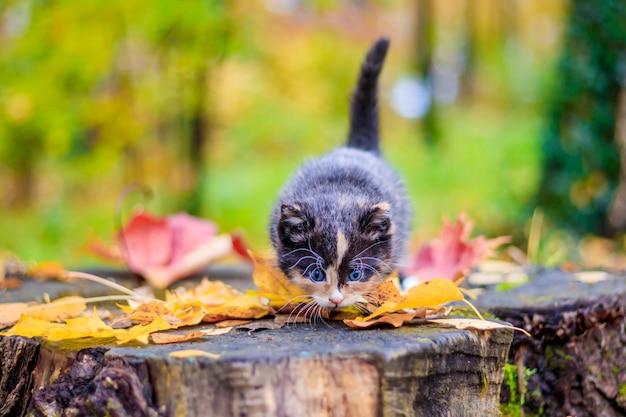 Un piccolo gattino sul percorso con foglie. gattino in una passeggiata in autunno. animale domestico.