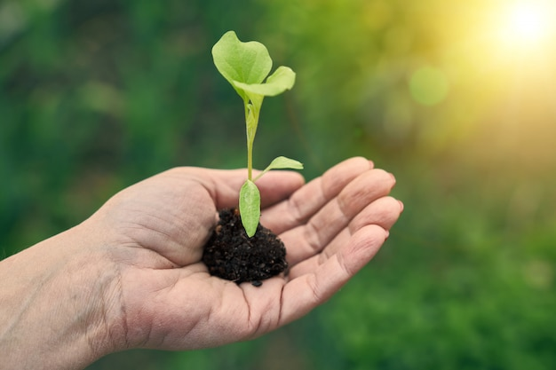 Un piccolo germoglio verde con il terreno è in una mano femminile contro il sole splendente