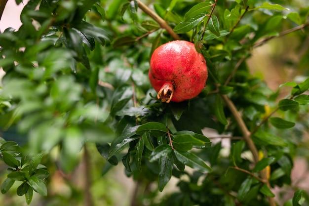 Un piccolo granato rosso appeso a un ramo con fogliame verde. il melograno maturo cresce su un albero