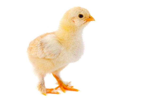 Un piccolo pollo su uno sfondo bianco