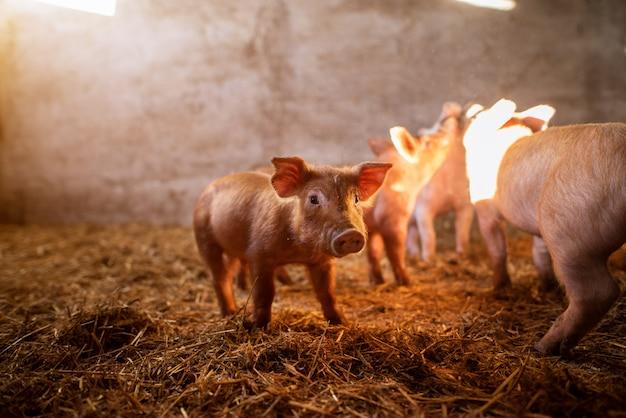 Un piccolo porcellino nella fattoria