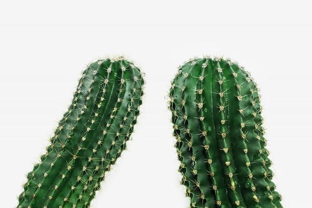 Un primo piano di due cactus su fondo leggero. cactus spinoso pianta verde. messa a fuoco selettiva