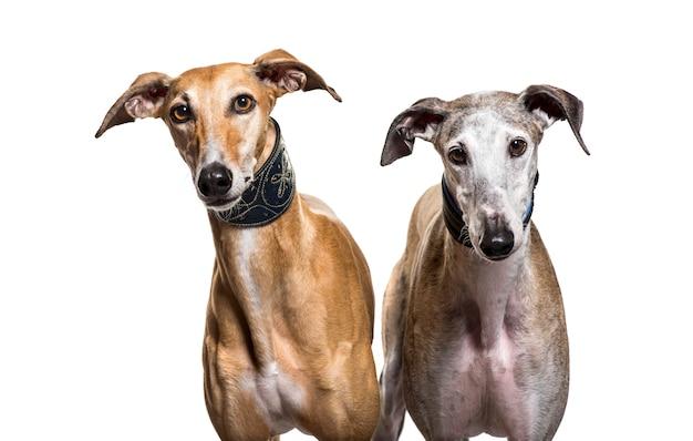 Un primo piano di due cani spagnoli del levriero, isolato