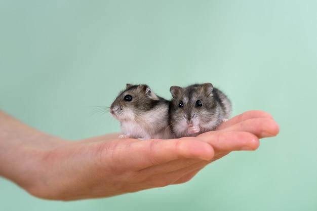 Un primo piano di due piccoli criceti jungar miniatura divertenti che si siedono sulle mani di una donna. ratti dzhungar soffici e carini a casa.