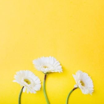 Un primo piano di tre fiori bianchi del gerbera su priorità bassa gialla