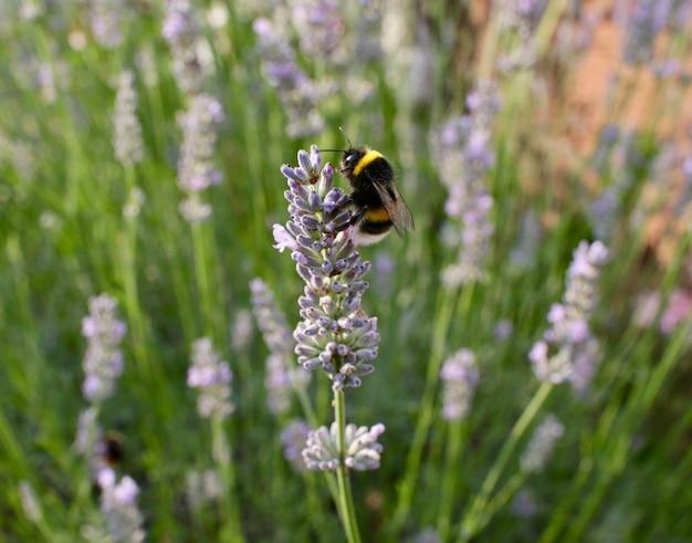 Un primo piano di un'ape che raccoglie il nettare da un fiore