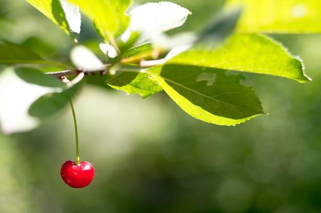 Un primo piano di una ciliegia rossa matura su un ramo più del giardino, fuoco selettivo