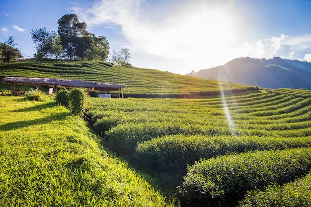 Un punto di vista del paesaggio di una piantagione di tè 101 sul fondo del cielo blu a chiang rai tailandia.