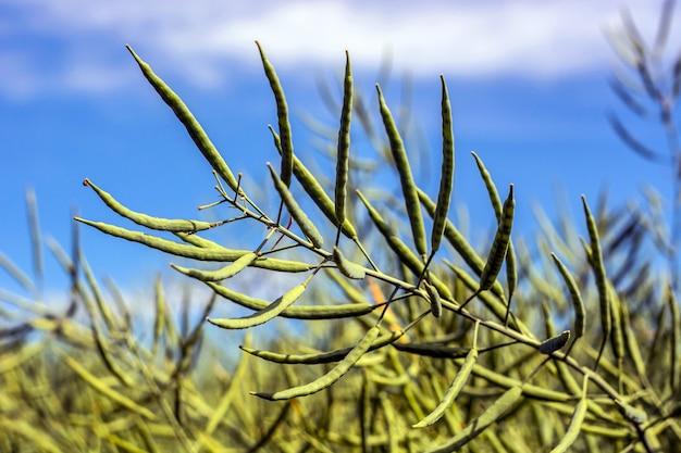 Un ramo di colza, con baccelli pieni di fagioli, contro uno sfondo di cielo blu