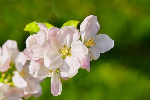 Un ramo di melo in fiore. ora del tramonto, primavera. messa a fuoco selettiva