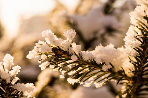 Un ramo di pelliccia-albero sullo sfondo di una foresta ricoperta di neve, inverno