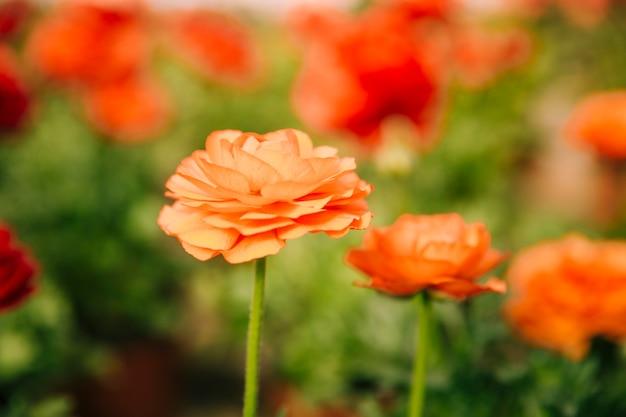 Un ranunculus arancio fiorisce in giardino