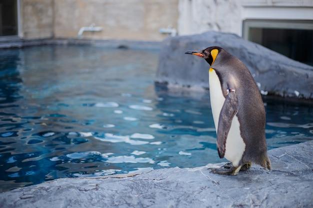 Un re pinguino nello zoo di asahiyama, asahikawa, hokkaido, giappone.