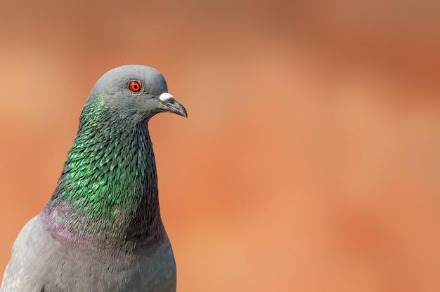 Un ritratto del primo piano di un piccione selvatico che ha i dettagli fini della piuma