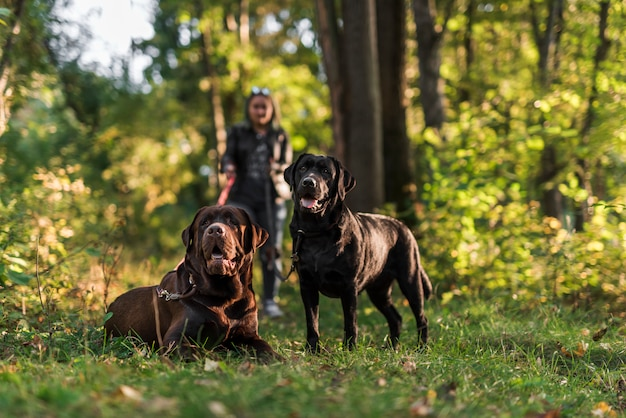 Un ritratto di due labrador nero e marrone in parco con il proprietario dell'animale domestico