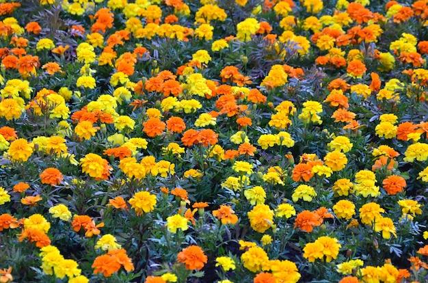 Un sacco di bellissimi fiori in giardino. calendula messicana, azteca o africana. tagetes erecta