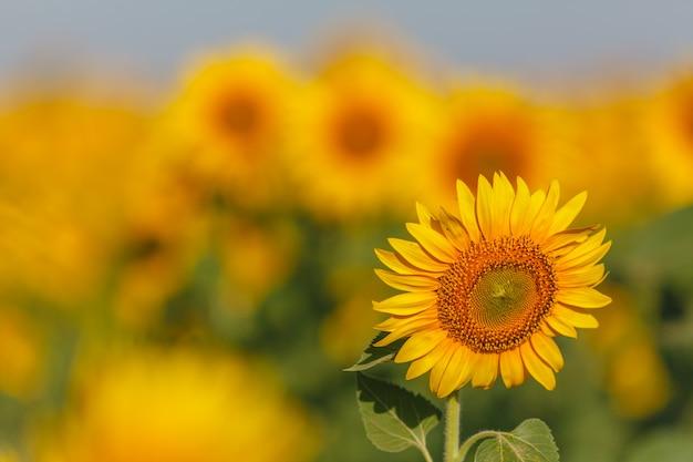 Un sacco di fiori di sole in una giornata di sole