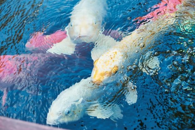 Un sacco di pesci nell'acqua. grosso pesce in uno stagno