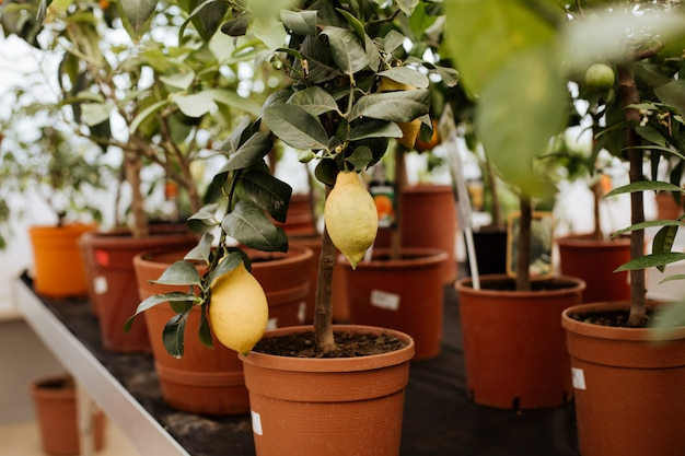 Un sacco di vasi con una pianta di limone in crescita sullo scaffale del negozio.