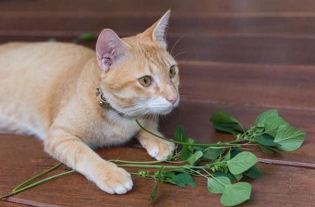 Un simpatico gatto giallo tailandese soddisfatto dell'albero di catnip