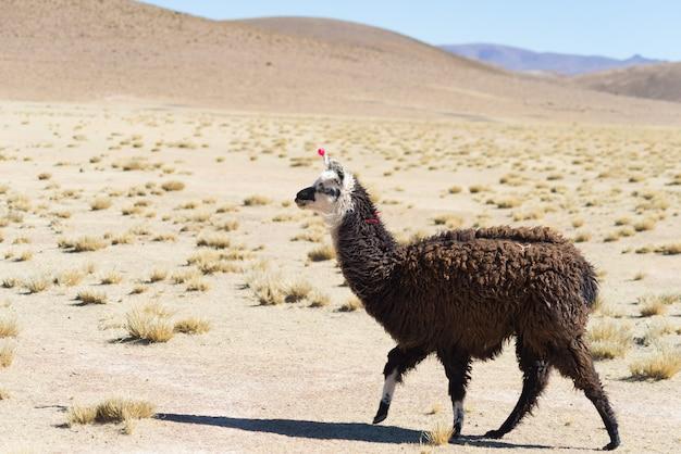 Un singolo lama sull'altopiano andino in bolivia