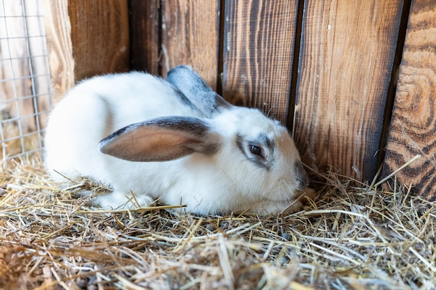 Un soffice coniglio bianco domestico sembra spaventato alla telecamera con le orecchie nascoste. animali domestici nel villaggio. prendersi cura dei conigli domestici. coniglietto di pasqua.