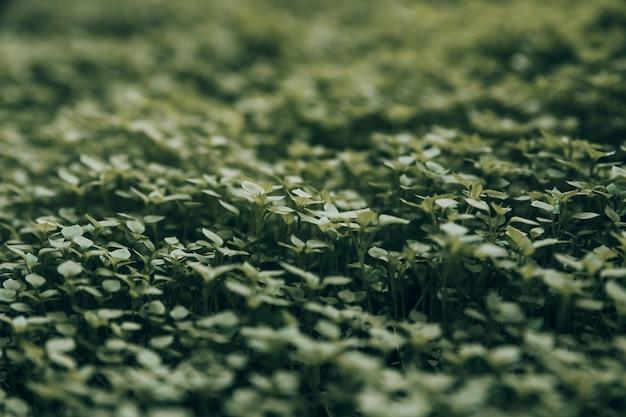 Un tappeto di erba verde molto succosa molto piccola e vivace con piccole foglie sul prato.