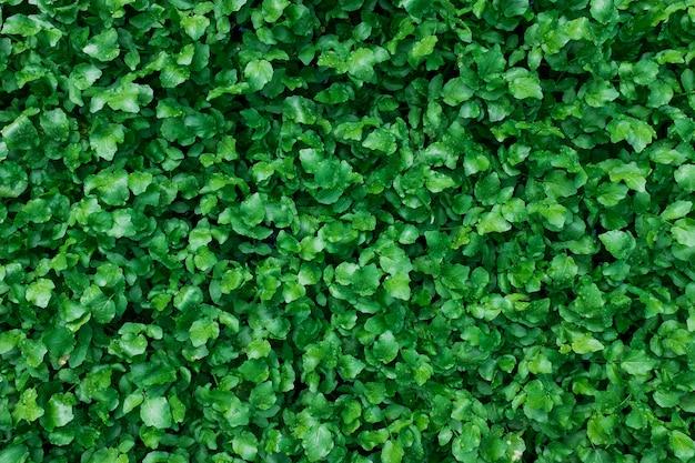 Un tappeto di succose e giovani piante verdi. come schermo intero