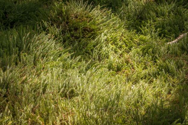 Un tappeto verde di muschio rigido o muschio di club interrotto - lycopodium annotinum - nella foresta