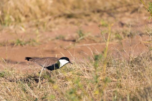 Un uccellino keniota locale dai colori vivaci si siede sui rami di un albero