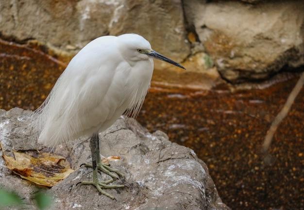 Un uccello giapponese garzetta egretta in cerca del cibo vicino al fiume.