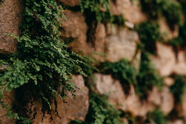 Un vecchio muro di pietra medievale, erba e muschio su di esso. carta da parati, sfondo naturale, copia spazio, soft focus.