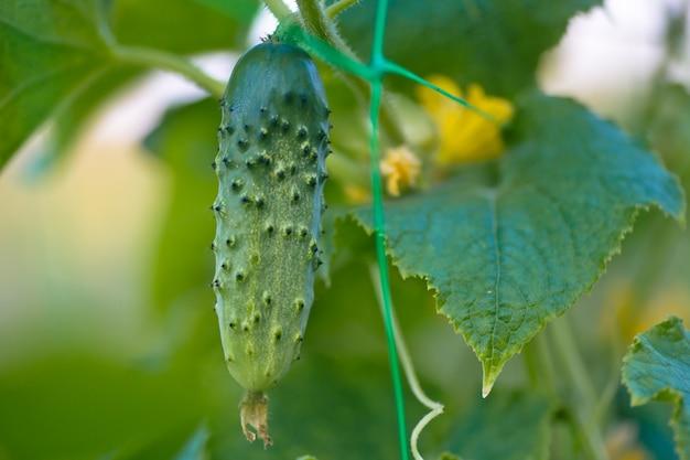 Un verde cetriolo maturo su un cespuglio tra le foglie