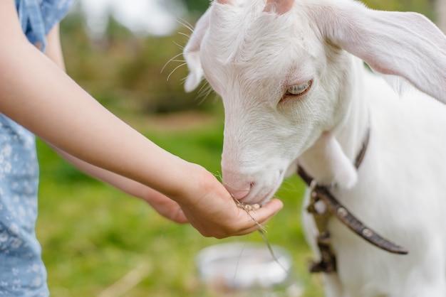 Una bambina sta alimentando una capra sul prato un'estate soleggiata