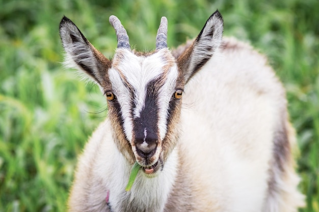 Una capra bianca con le corna mangia l'erba nel campo. ritratto di una capra su uno sfondo sfocato verde