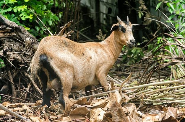 Una capra domestica marrone capelli corti con piccole corna in piedi su un terreno solido