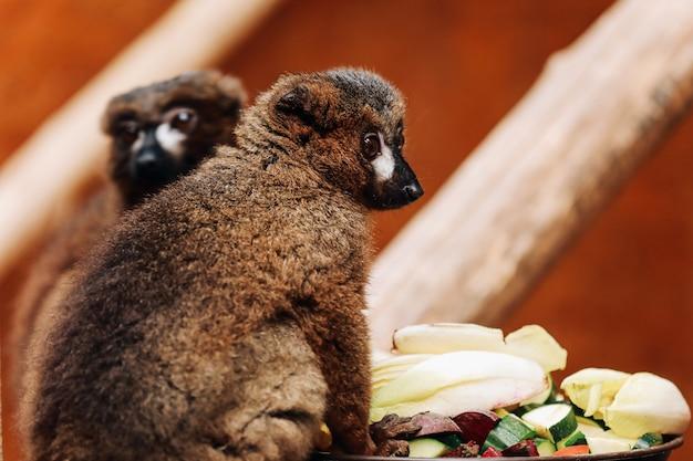 Una catta di lemure dalla coda ad anelli sta mangiando un frutto mentre era seduta su un tronco