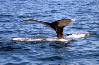 Una coda di balena