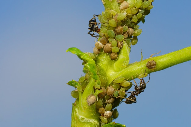 Una colonia di afidi e formiche su piante da giardino
