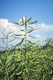 Una colza piatta di semi di colza, ricoperta di baccelli, piena di fagioli, contro il cielo