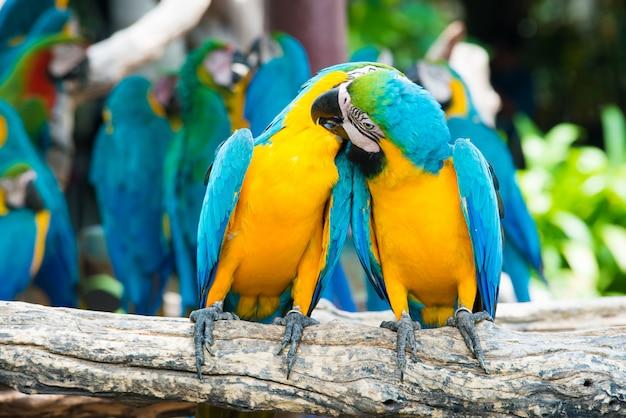 Una coppia di are blu e gialle che si appollaiano al ramo di legno nella giungla. uccelli colorati macaw nella foresta.