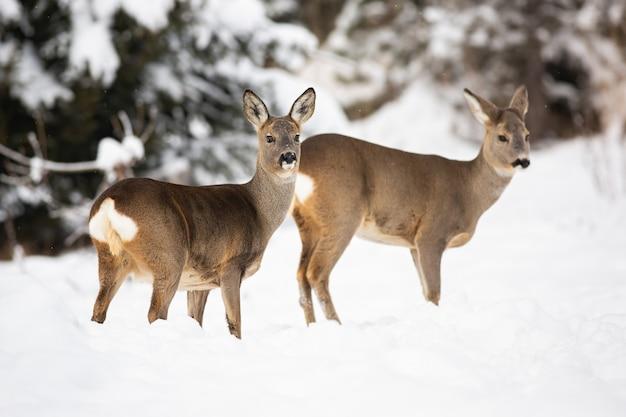 Una coppia di caprioli timidi che posano sulla copertura nevosa del prato della foresta