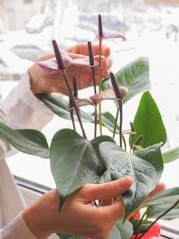 Una donna che si prende cura di una pianta in vaso. allevamento di anthurium.