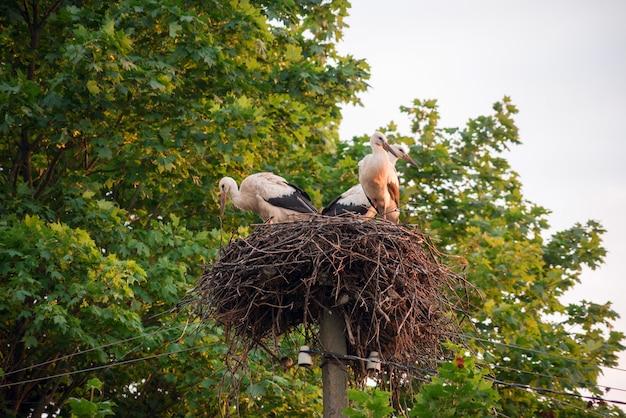 Una famiglia di cicogne nel loro nido, seduta in alto su un palo vicino all'acero.